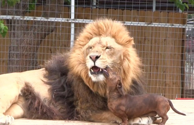 Little Dog Licks Lion Teeth