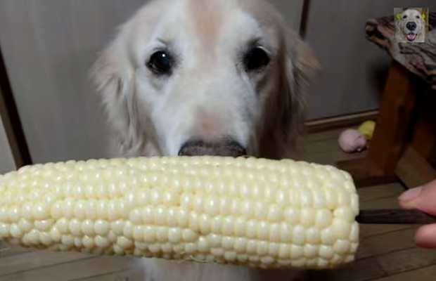 Golden eats corn cob